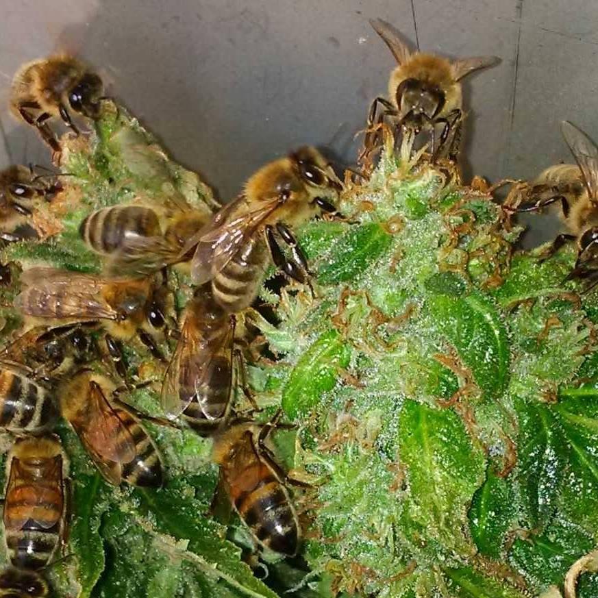 les abeilles récupèrent le pollen des plants de cannabis bio