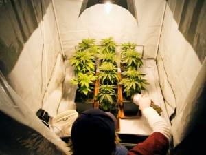 Système de culture de cannabis en intérieur