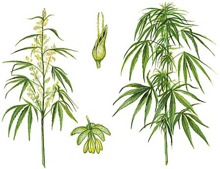 Le cannabis médical thérapeutique